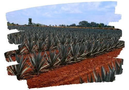 campos de agave para tequila